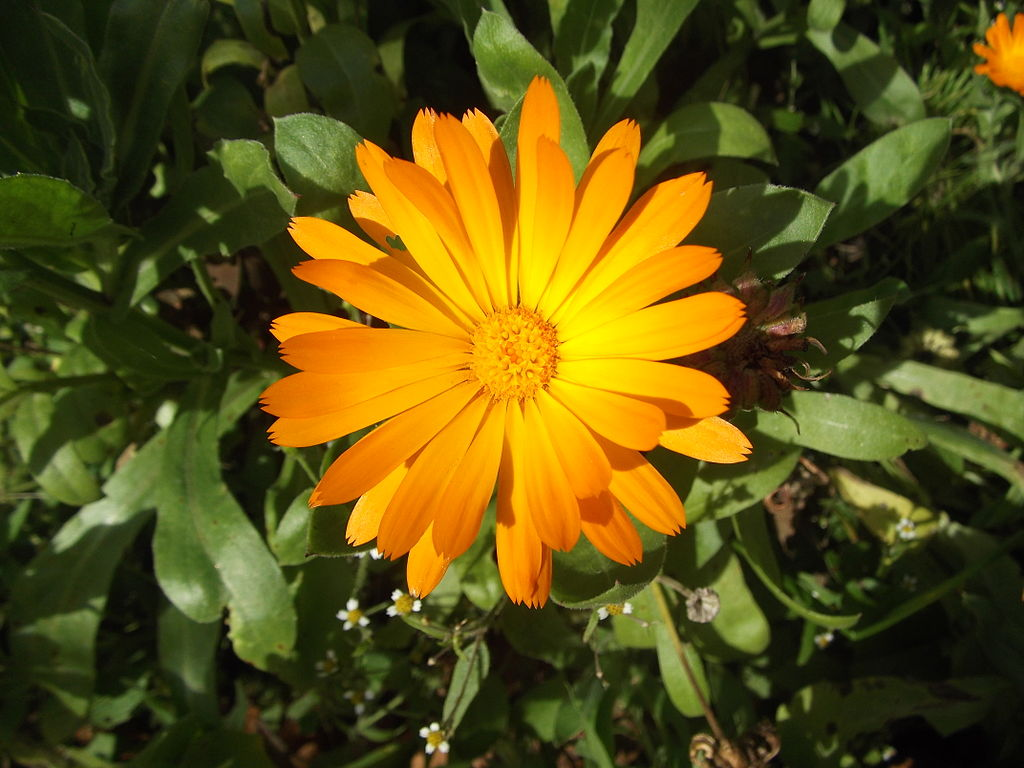 Calendula officinalis morgenfrue