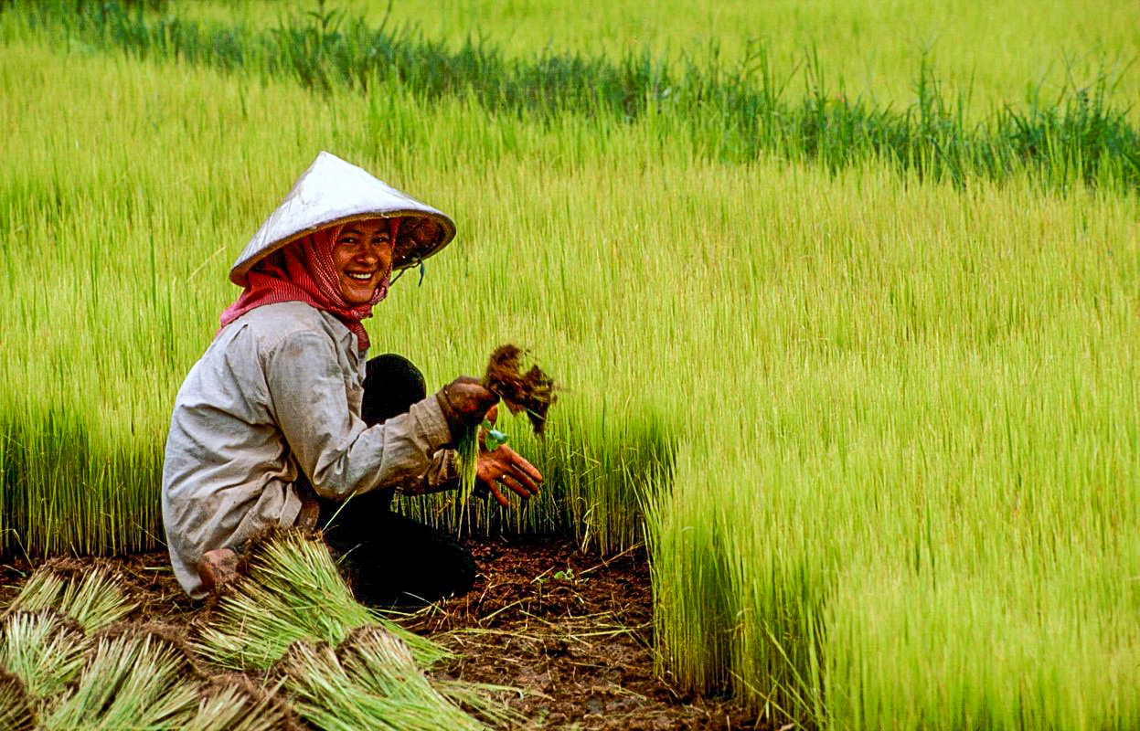 Ris rismarker i Cambodia Cambodia, Kratie: A worker is removing the rice seedlings.
