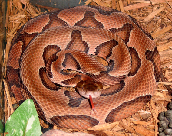 757px-agkistrodon_contortrix_contortrix_cdc-a.png