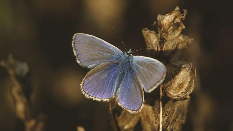 Sommerfugl, Common Blue
